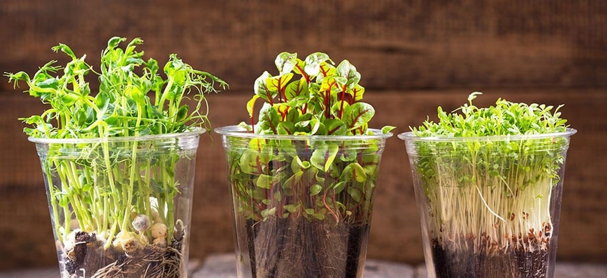Micro green - mikro zelenina